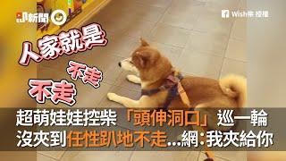 柴柴頭伸夾娃娃機洞口巡一輪 沒夾到任性趴地不走|寵物|狗|柴犬