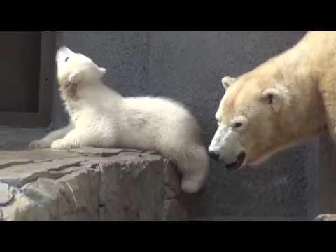 A polar bear cub roars by the mother Lara, at Sapporo Maruyama Zoo, Japan