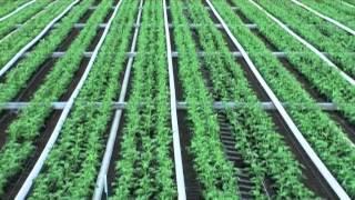 Cut flower production