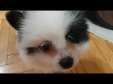 THE NEW GIRL IN THE HOUSE SURPRISE THE OTHERS GERMAN SPITZ FEMALES