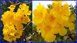 Planta Medicinal TAHUARI