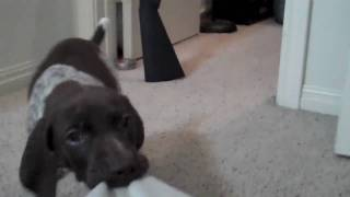 Dieter Attacking Camera - 7 Weeks Old Gsp German Shorthaired Pointer