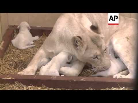 Three white lion cubs born in private zoo