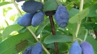 видео Жимолость съедобная Голубое веретено