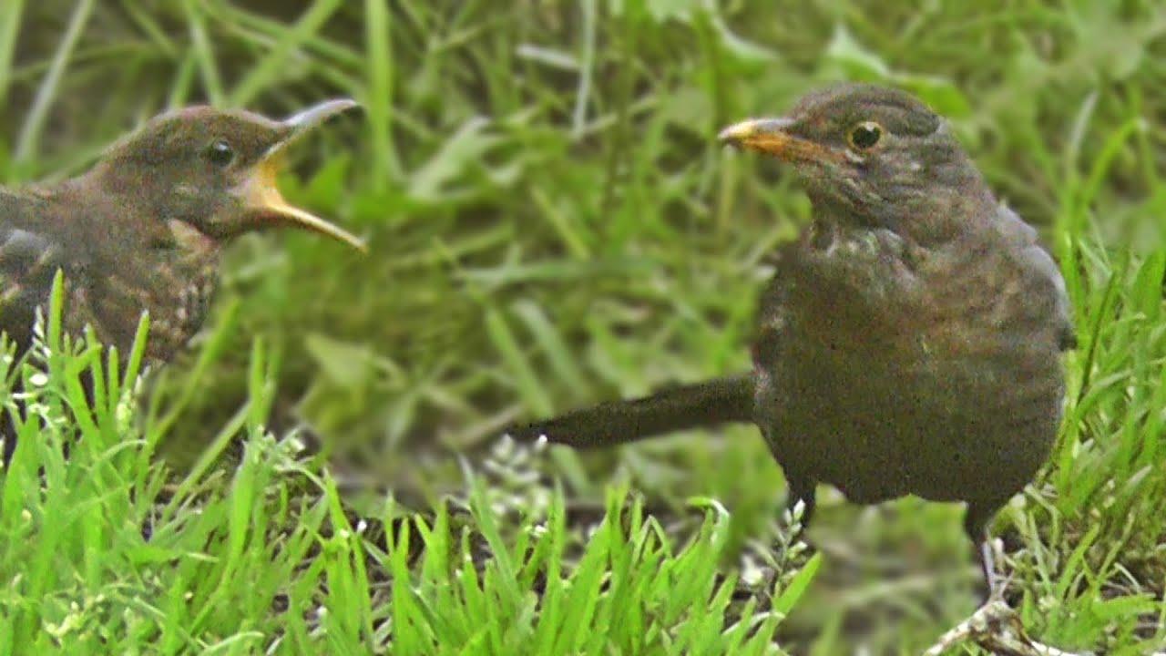 Female Blackbird with Juvenile Birds