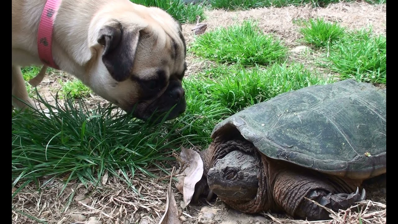Nasty Snapping Turtle Meets Cute Pug Even Tries To Attack
