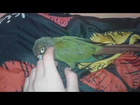 Pyrura zelenolíca/ Pyrrhura molinae Hercules ❤