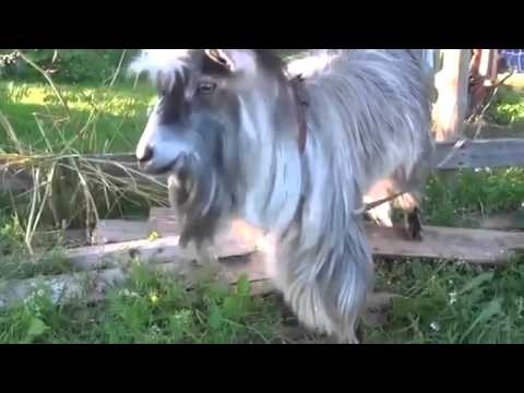 Goat dance music beatbox, jokes