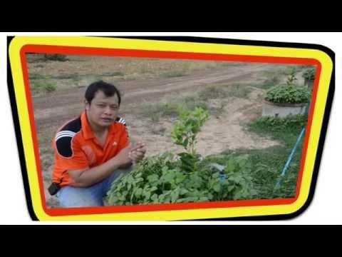 สวนมะนาว ตอนที่ 1 วิธีปลูกมะนาว