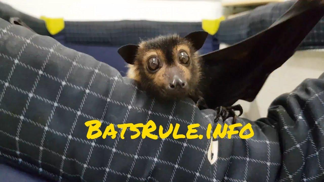 Rehab | Bat Flying-fox babies orphaned rescued in care Megabat Fruit Bat