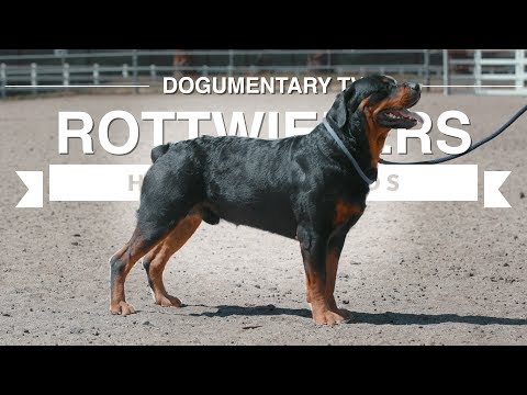 ALL ABOUT HERDING: ROTTWEILERS