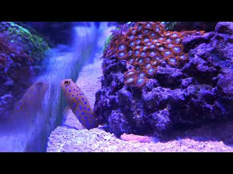 Creature Feature Blue Dot Jawfish