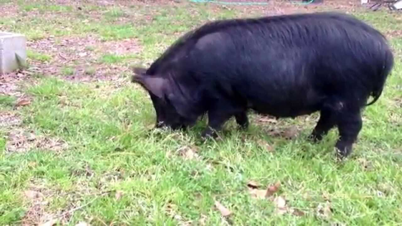 Raising American Guinea Hogs – The Homestead Pig with Cathy