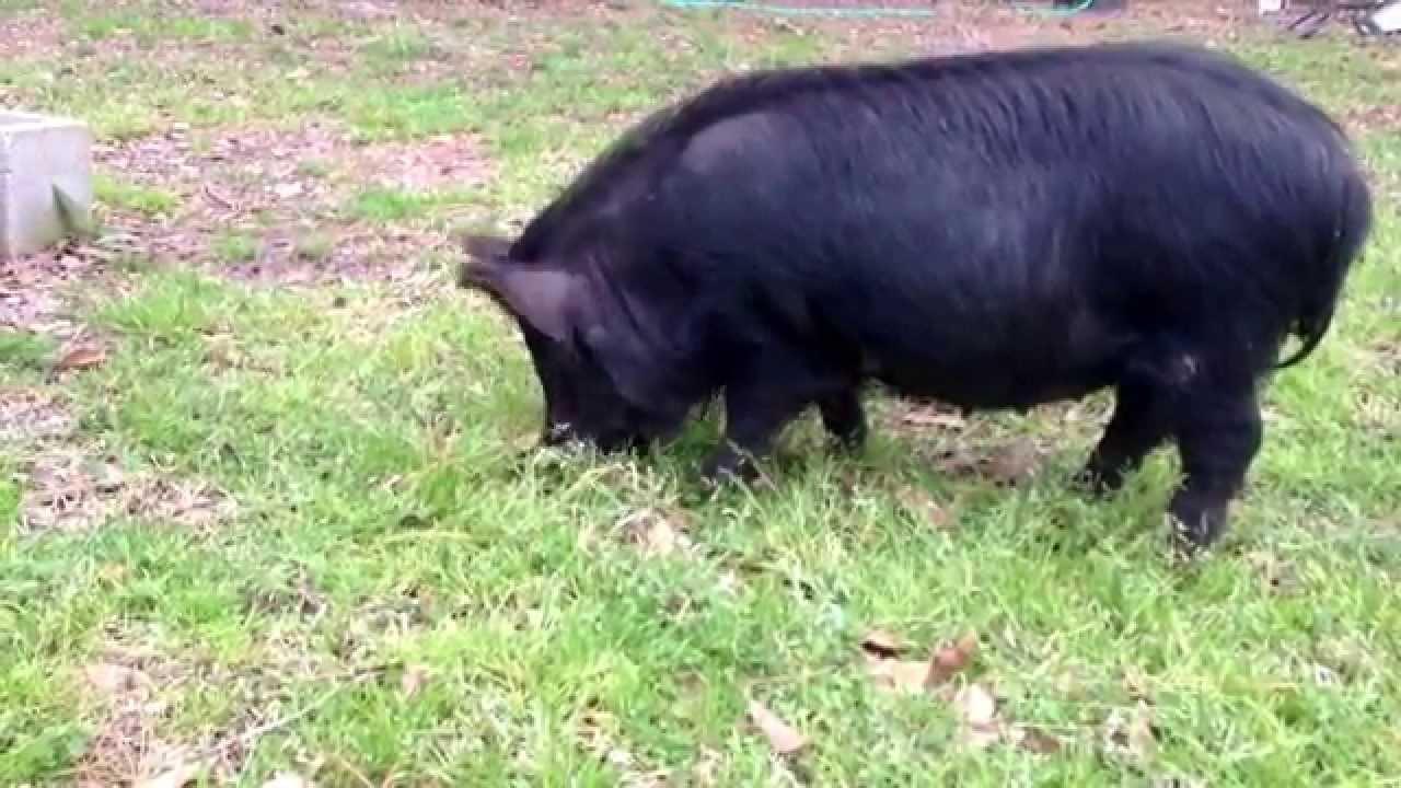 R Hogs American Guinea...
