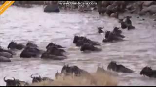 Przeprawa Gnu przez rzekę Mara Afryka Safari