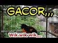 Masteran Burung Mantenan Gacor Cocok Buat Murai Batu Kacer Cucak Ijo Dll  Mp3 - Mp4 Download
