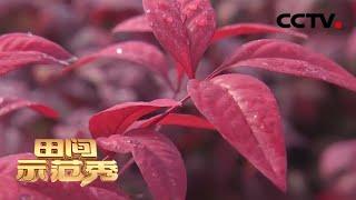 《田间示范秀》 20200410 红红火火南天竹|CCTV农业
