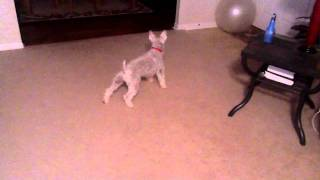 Miniature Schnauzer Attacking Exercise Ball