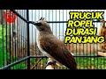 Suara Trucukan Ropel Durasi Panjang Cocok Buat Masteran Trucuk Bakalan  Mp3 - Mp4 Download