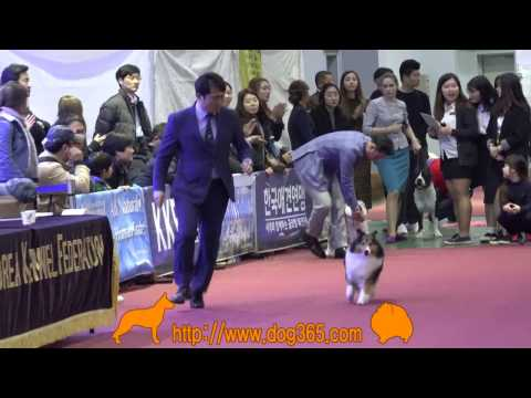 …2016.12.04 Seocho FCI International Dog Show(Shetland Sheepdog)