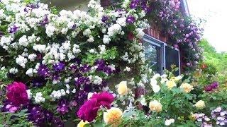 Райский сад на 5 сотках. Уникальная коллекция роз на маленьком участке.