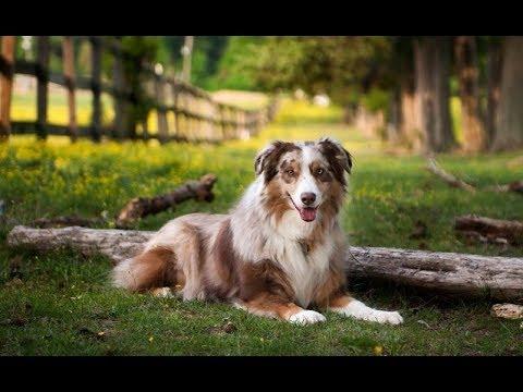 Аусси (Австралийская овчарка) Описание