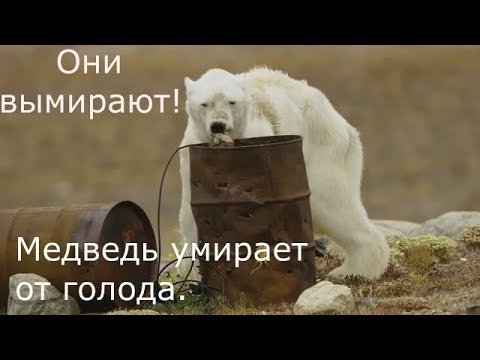 Белые медведи на грани вымирания. Кадры не для слабонервных!
