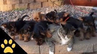 כלבלבים וחתול