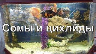 Сомы и цихлиды в большом аквариуме