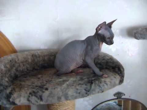 Sphynx cat Astarte 1
