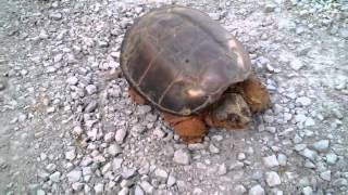 DO NOT Mess With This Turtle! Snapping Turtle In Scary Attack