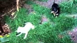 Dalmatian X Dachshund