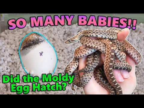 Baby Bullsnakes Hatching!!
