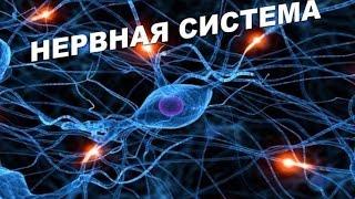 Нервная система - Анатомия просто!