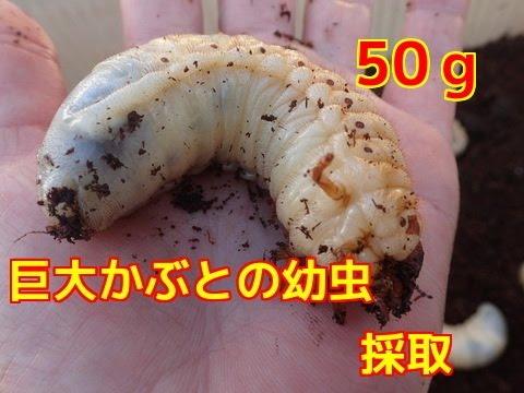 の 幼虫 カブトムシ