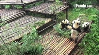 Panda cubs fighting in kindergarten