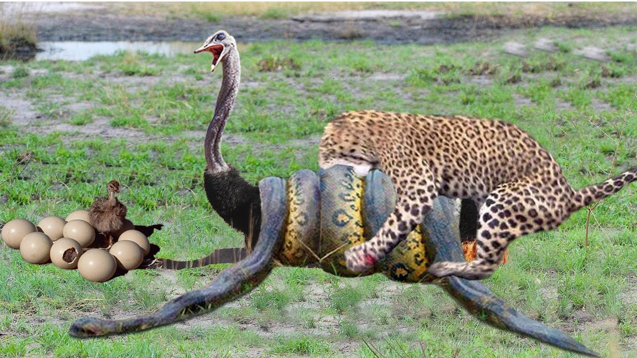 The CHEETAH, The Fastest Big Cat | Ostrich Don't Protect Baby From Cheetah, Python vs Leopard