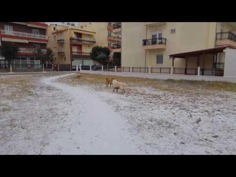 Berger blanc suisse vs kangal mix attack