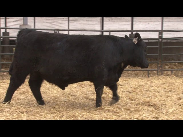 Schiefelbein Angus Farms Lot 289