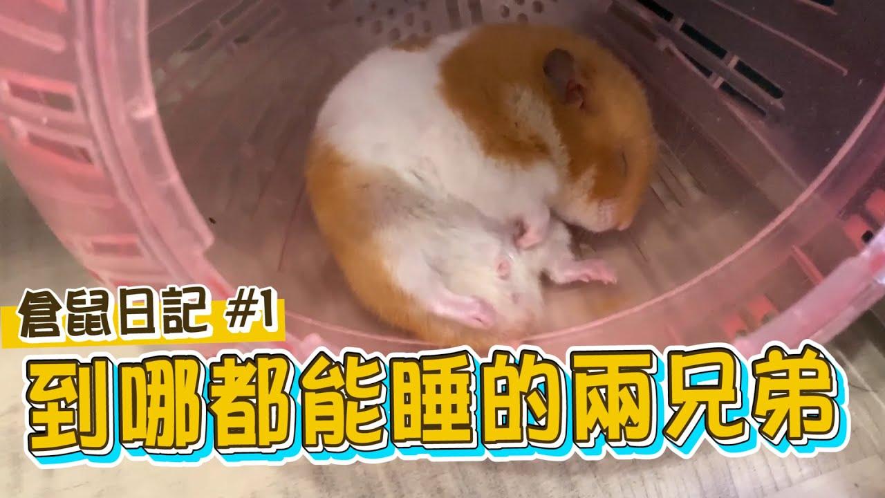 倉鼠超萌睡姿曝光! 網友:根本睡到ㄎ一ㄤ掉!【眾量級CROWD|倉鼠日記#1】