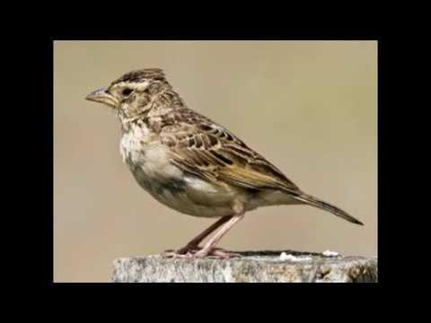 Suara Burung Branjangan Gacor Pemasteran Burung Branjagan Youtube