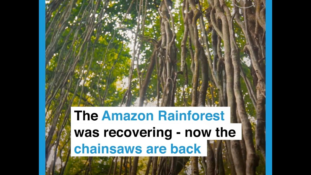 The Amazon Rainforest was recovering   now the chainsaws arer back