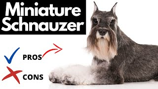 Miniature Schnauzer Pros And Cons | The Good AND The Bad!!