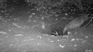 Badger clan emerging from their sett