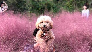 처음 핑크뮬리를 본 토이푸들 강아지