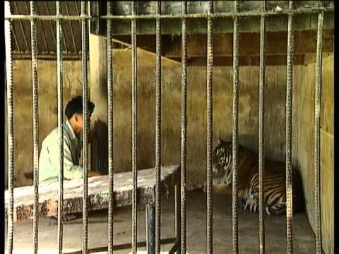 TAMING THE TIGERS Documentary by Greg Grainger