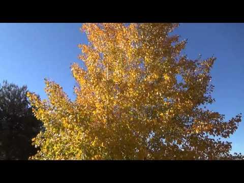 Quacking Aspen in fall color - Populus tremuloides