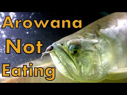 Silver Arowana - Not Eating - Complete Solution