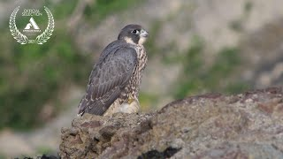 Peregrine Coast | Raising chicks on a sea cliff