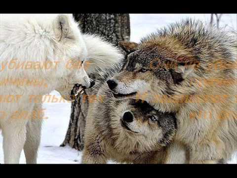 Волчья любовь...